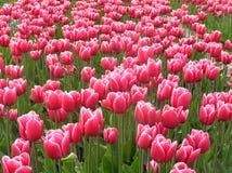 2荷兰语tulipfield 图库摄影