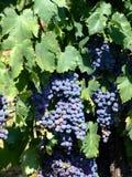 2葡萄园 库存图片