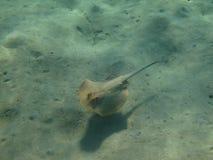 2蓝色被察觉的黄貂鱼 免版税库存照片