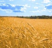 2蓝色金黄天空正方形麦子 库存照片