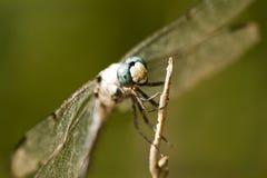 2蓝色dasher蜻蜓longipennis pachydiplax 库存图片