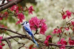 2蓝鸟 库存图片