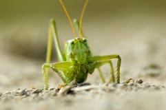 2蚂蚱 免版税图库摄影