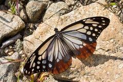 2蝴蝶danais tytia 图库摄影