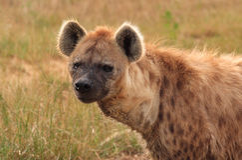 2被察觉的鬣狗 免版税库存图片