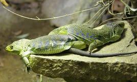 2被注视的蜥蜴 库存照片