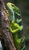 2被结合的斐济鬣鳞蜥 免版税库存照片