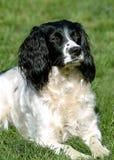 2西班牙猎狗 免版税库存照片
