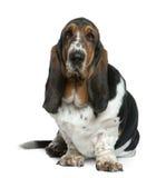 2贝塞猎狗老坐的年 免版税库存图片