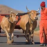 2辆购物车黄牛运输 免版税库存图片
