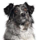 2边界接近的大牧羊犬老年 免版税库存照片