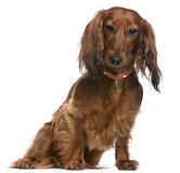 2达克斯猎犬老坐的年 库存照片