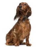2达克斯猎犬老坐的年 库存图片
