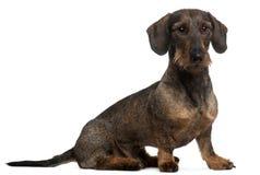 2达克斯猎犬老坐的年 免版税库存图片
