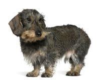 2达克斯猎犬老常设年 图库摄影