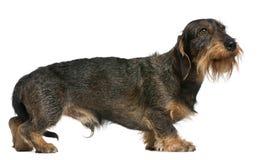 2达克斯猎犬老常设年 免版税图库摄影