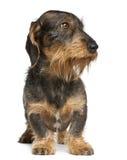 2达克斯猎犬老常设年 免版税库存图片