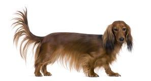 2达克斯猎犬老年 库存照片