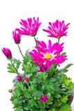2雏菊红色玫瑰色 免版税库存照片