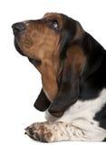 2露头接近的猎犬老年 免版税库存照片