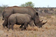 2非洲小牛kruger母亲南np的犀牛 免版税库存照片