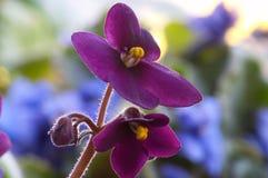 2非洲紫罗兰 免版税图库摄影