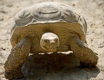 2非洲被激励的草龟 免版税图库摄影