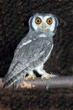 2面对空白猫头鹰的范围 免版税图库摄影