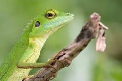 2顶饰绿蜥蜴 免版税库存图片