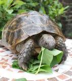 2顿午餐草龟 库存照片