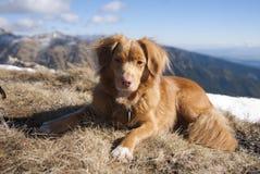 2颗新星猎犬scotia牛拉车旅行 库存图片