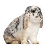 2颜色法语砍几个月兔子被察觉的三 免版税图库摄影