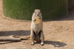 2饥饿的灰鼠 免版税库存图片