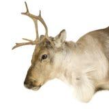 2驯鹿年 免版税库存图片
