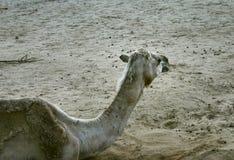 2骆驼 免版税库存照片