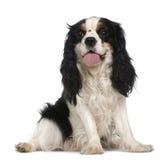2骑士查尔斯国王老西班牙猎狗年 免版税图库摄影