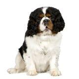 2骑士查尔斯国王西班牙猎狗年 库存照片