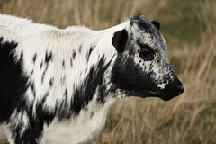 2黑色小牛白色 库存照片