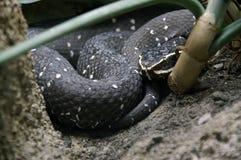 2黑色蛇 免版税库存图片