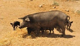 2黑色nebrodi猪 免版税库存照片