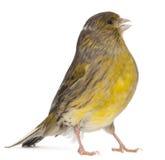 2 år för serinus för atlantisk canaria kanariefågel gammala Arkivbild