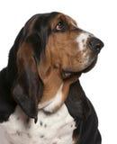 2 år för tät hund för basset gammala övre Arkivfoton
