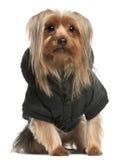 2 år yorkshire för gammal terrier för hoodie slitage Royaltyfri Foto