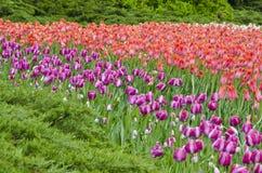 2 śródpolnego tulipanu Obraz Stock