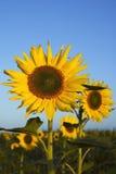 2 śródpolny słonecznik Obrazy Stock