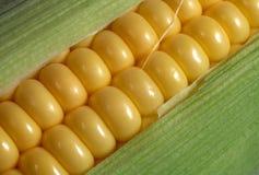 2 świeżego kukurydzianym Fotografia Royalty Free