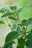 2 świeży grecki zielarski oregano Zdjęcia Royalty Free