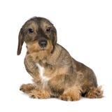 2 έτη dachshund Στοκ Εικόνες