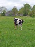 2 αγελάδα Χολστάιν Στοκ Φωτογραφίες