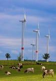 2 αγελάδες που ταΐζονται τη χλόη τον οργανικό αέρα ισχύος Στοκ εικόνα με δικαίωμα ελεύθερης χρήσης
